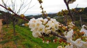 Majatalon hedelmäpuu kukkii
